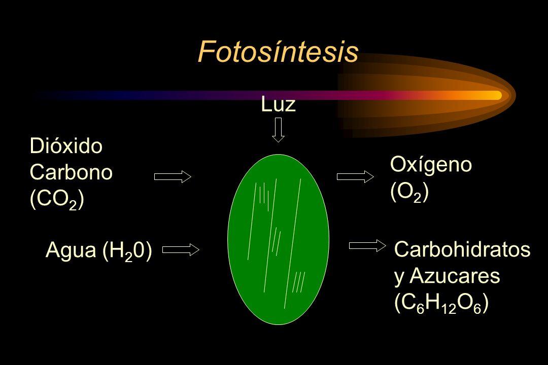 Fotosíntesis Luz Dióxido Carbono (CO2) Oxígeno (O2) Agua (H20)