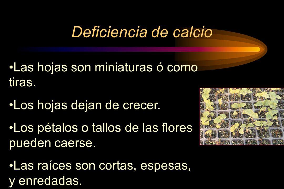 Deficiencia de calcio Las hojas son miniaturas ó como tiras.