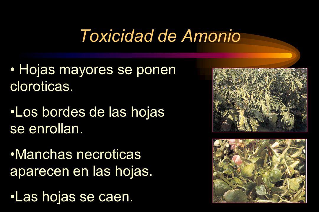 Toxicidad de Amonio Hojas mayores se ponen cloroticas.