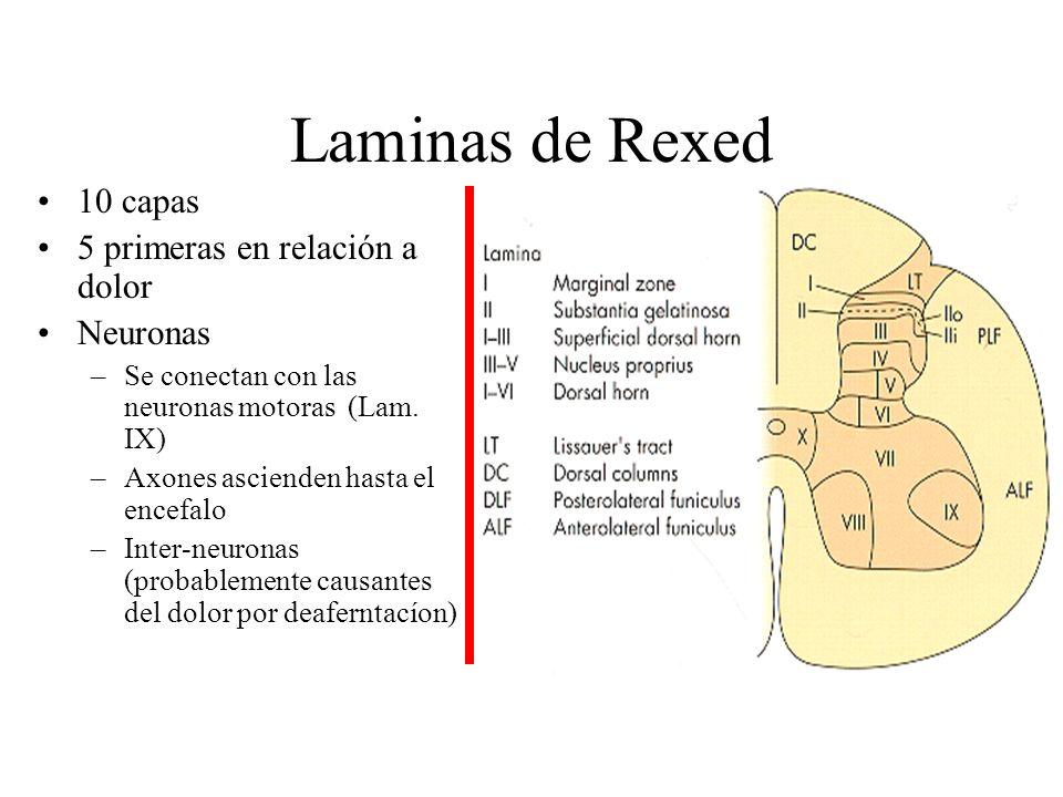 Laminas de Rexed 10 capas 5 primeras en relación a dolor Neuronas