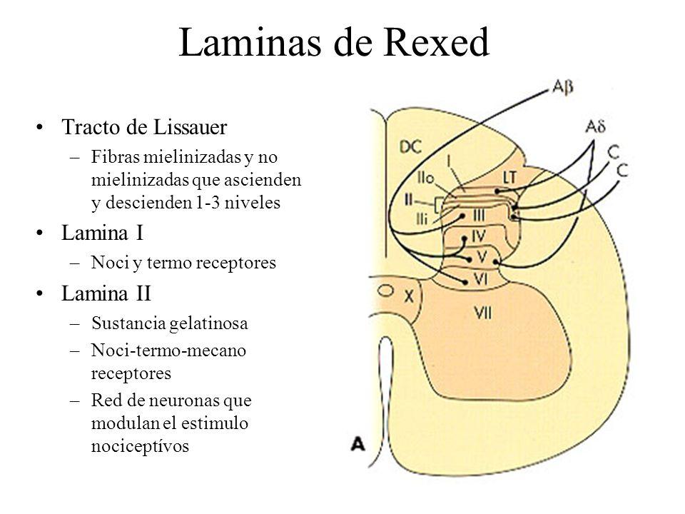 Laminas de Rexed Tracto de Lissauer Lamina I Lamina II