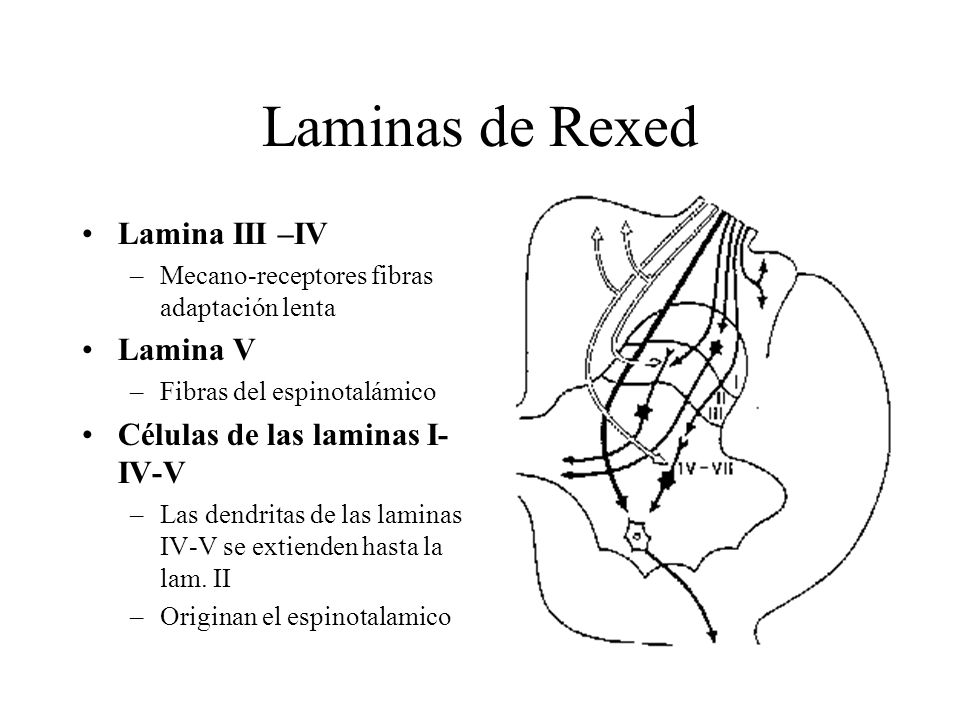 Laminas de Rexed Lamina III –IV Lamina V Células de las laminas I-IV-V