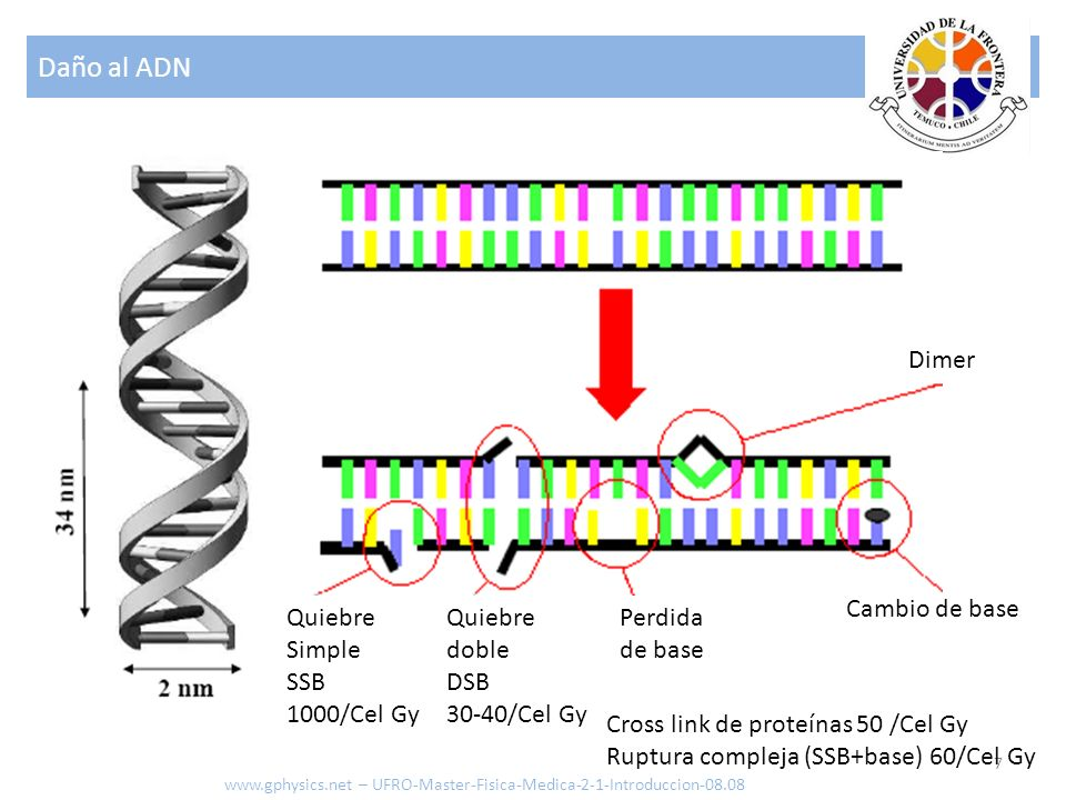 Daño al ADN Dimer Cambio de base Quiebre Simple SSB 1000/Cel Gy
