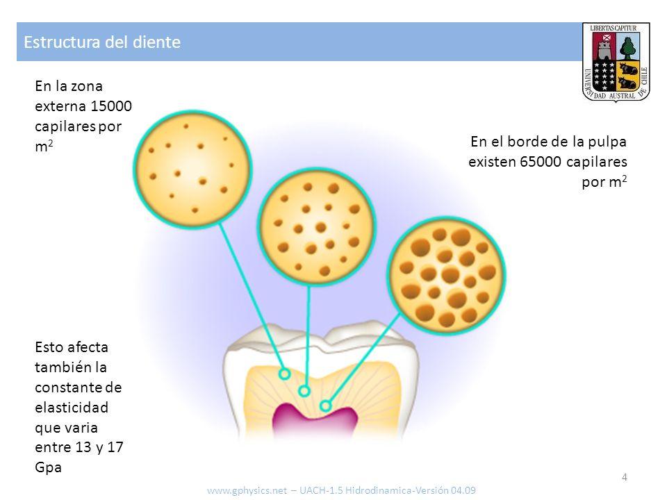 Estructura del diente En la zona externa 15000 capilares por m2