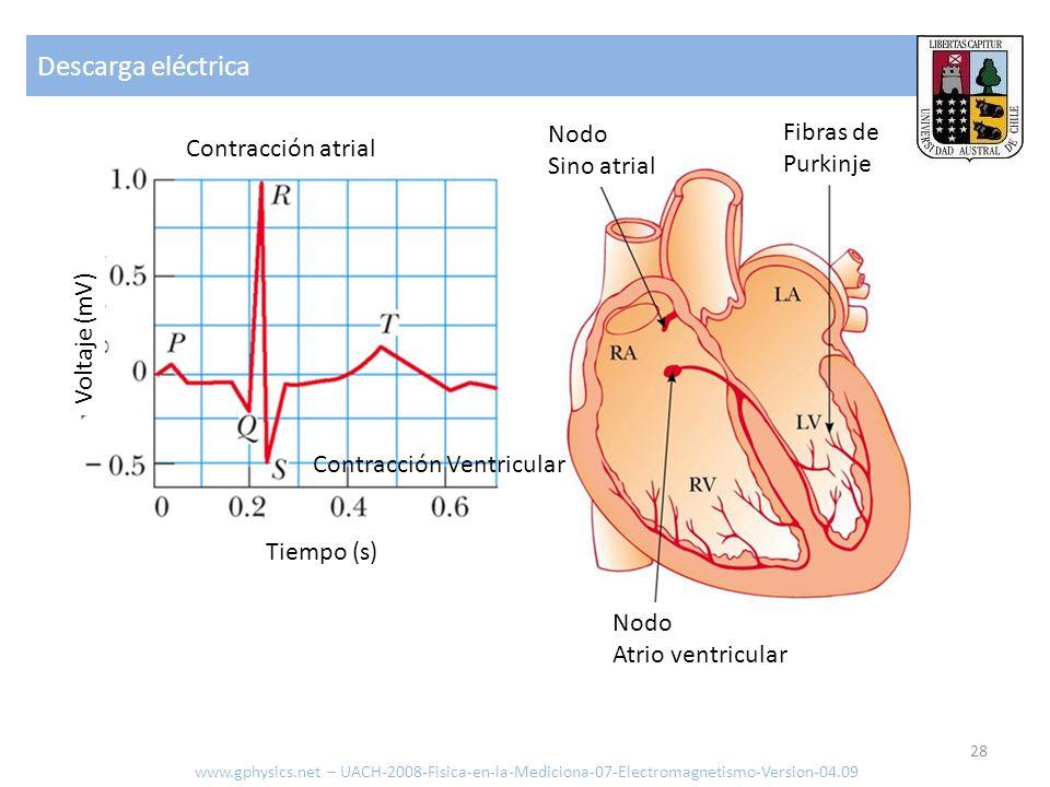 Descarga eléctrica Nodo Nodo Fibras de Sinoatrial Contracción atrial