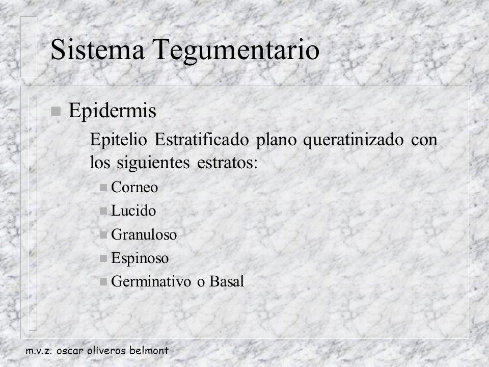 Sistema Tegumentario Epidermis