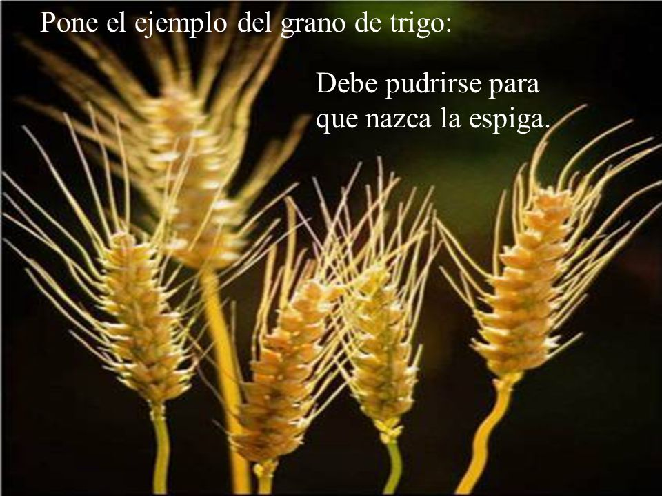 Pone el ejemplo del grano de trigo: