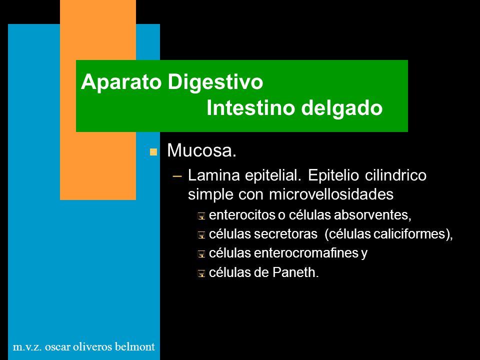 Aparato Digestivo Intestino delgado