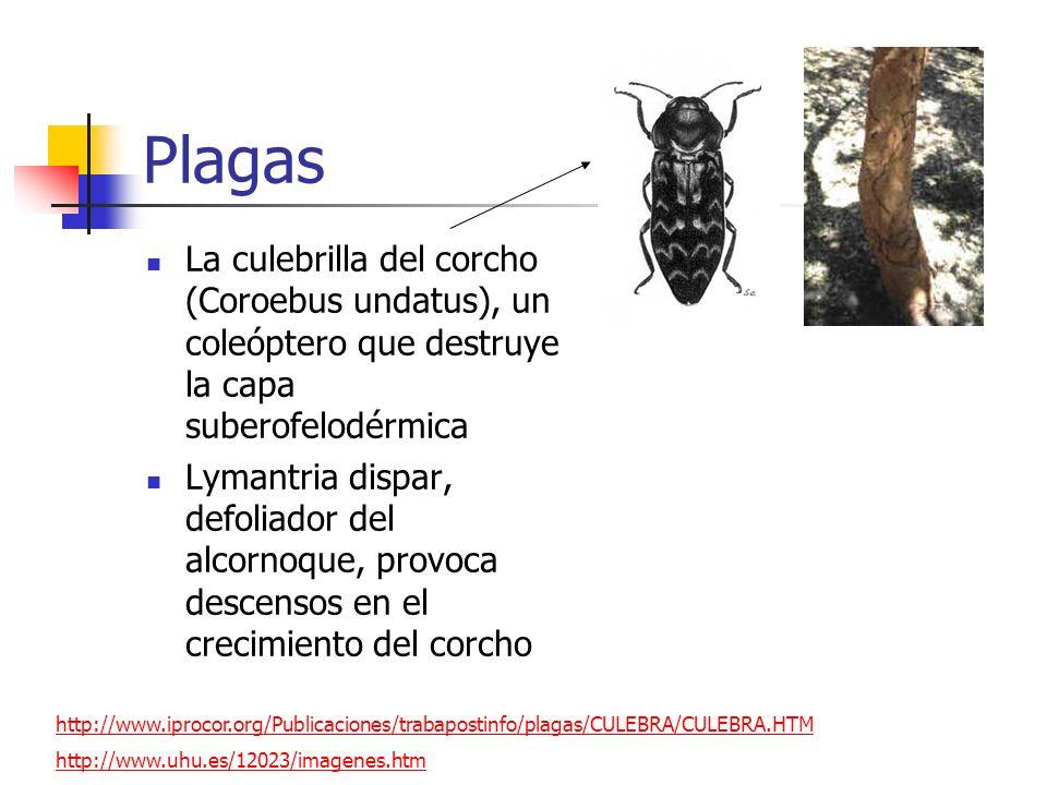 PlagasLa culebrilla del corcho (Coroebus undatus), un coleóptero que destruye la capa suberofelodérmica.