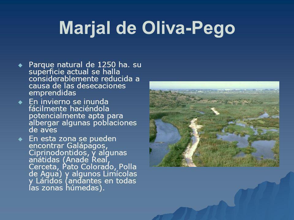 Marjal de Oliva-PegoParque natural de 1250 ha. su superficie actual se halla considerablemente reducida a causa de las desecaciones emprendidas.