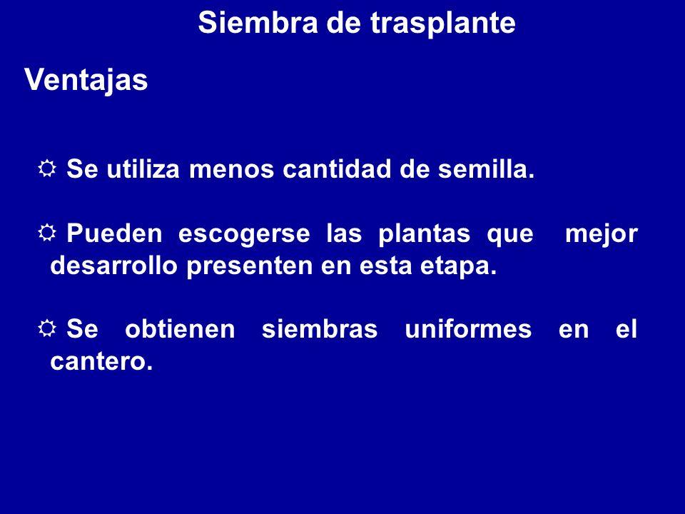Siembra de trasplante Ventajas Se utiliza menos cantidad de semilla.