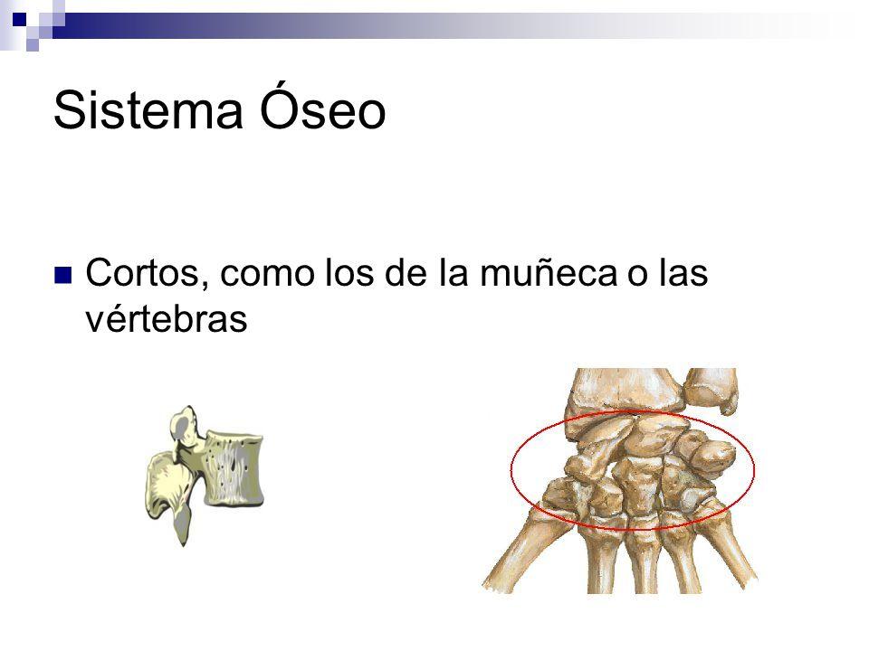 Sistema Óseo Cortos, como los de la muñeca o las vértebras