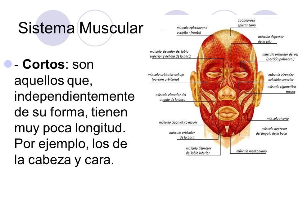 Sistema Muscular - Cortos: son aquellos que, independientemente de su forma, tienen muy poca longitud.