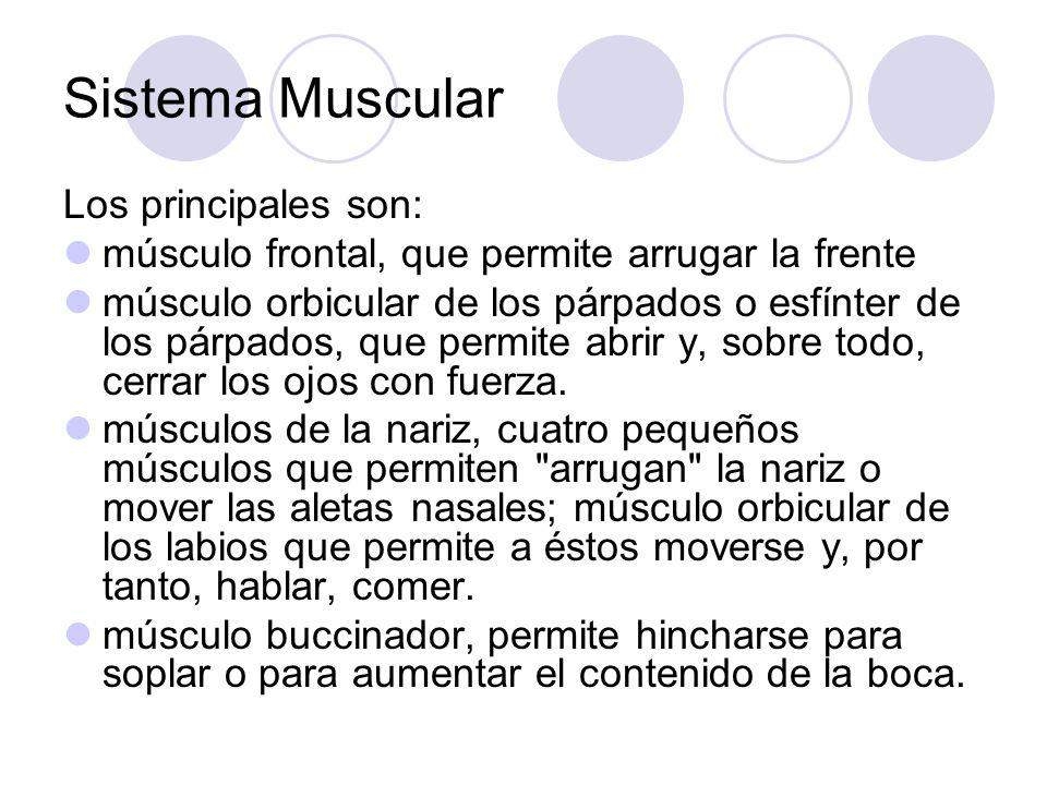 Sistema Muscular Los principales son: