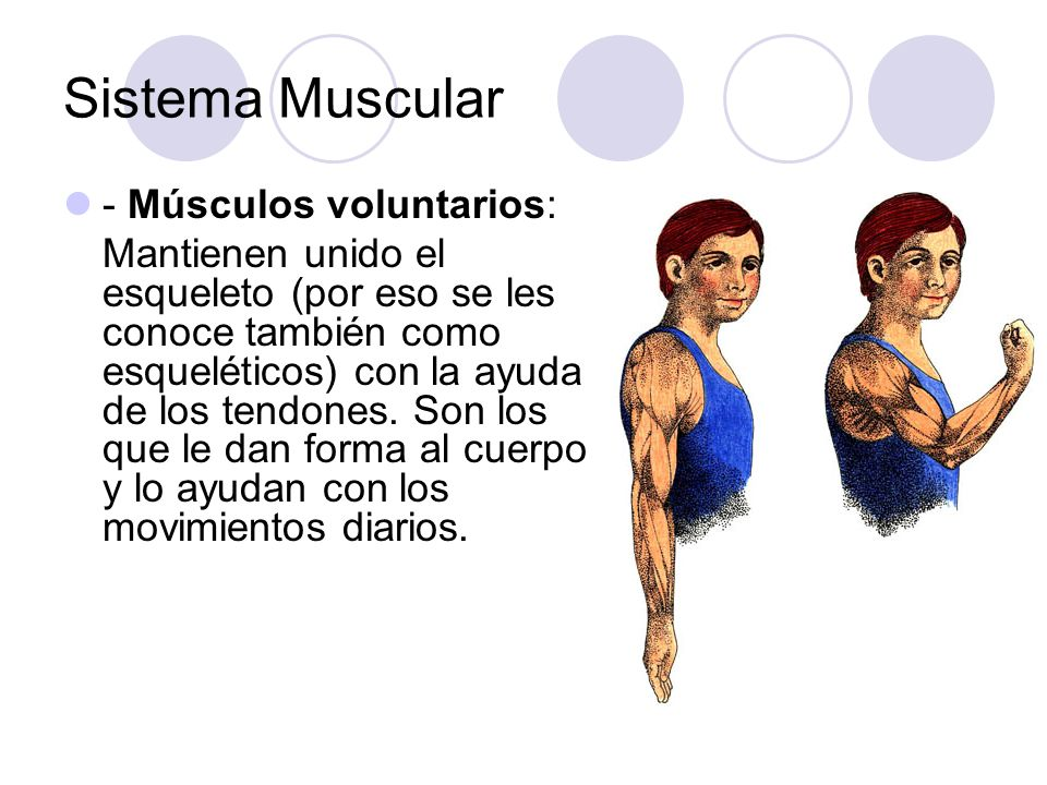 Sistema Muscular - Músculos voluntarios: