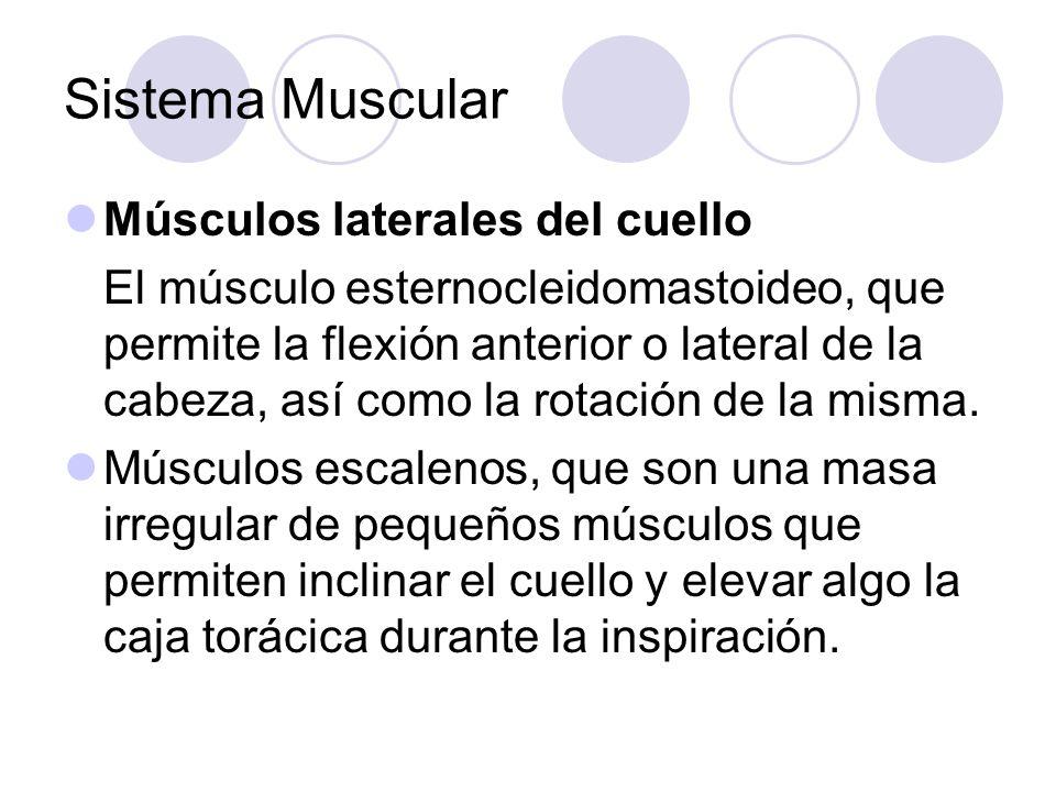 Sistema Muscular Músculos laterales del cuello