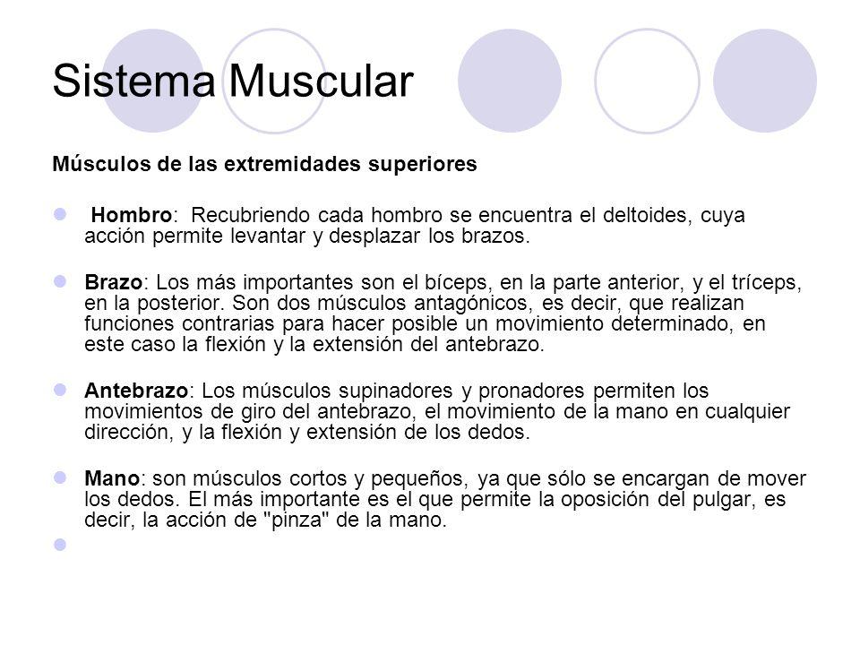 Sistema Muscular Músculos de las extremidades superiores