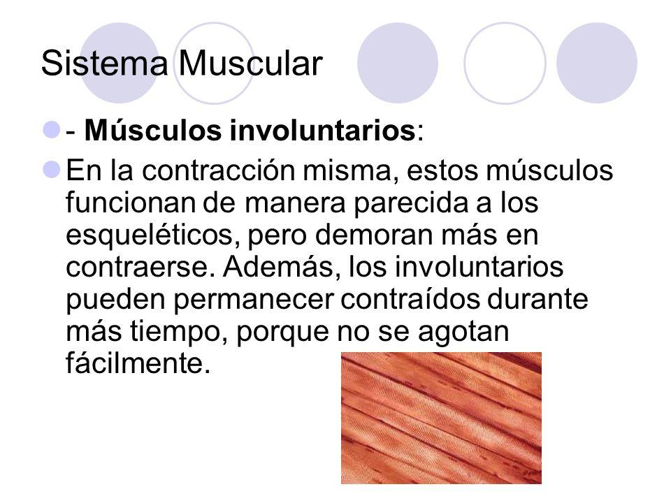 Sistema Muscular - Músculos involuntarios: