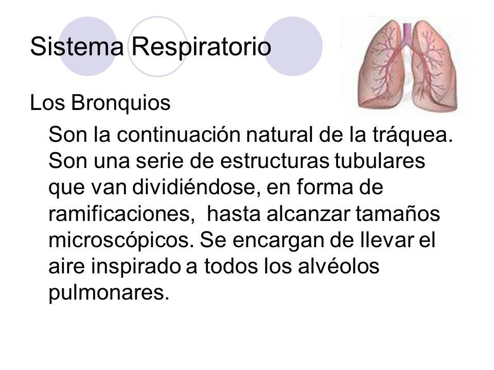 Sistema Respiratorio Los Bronquios