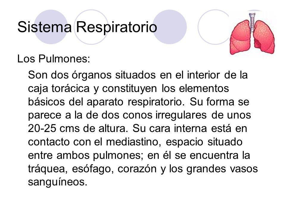 Sistema Respiratorio Los Pulmones: