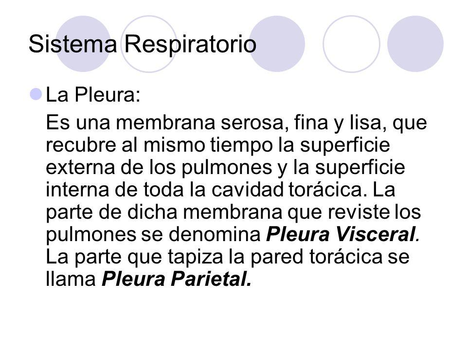 Sistema Respiratorio La Pleura: