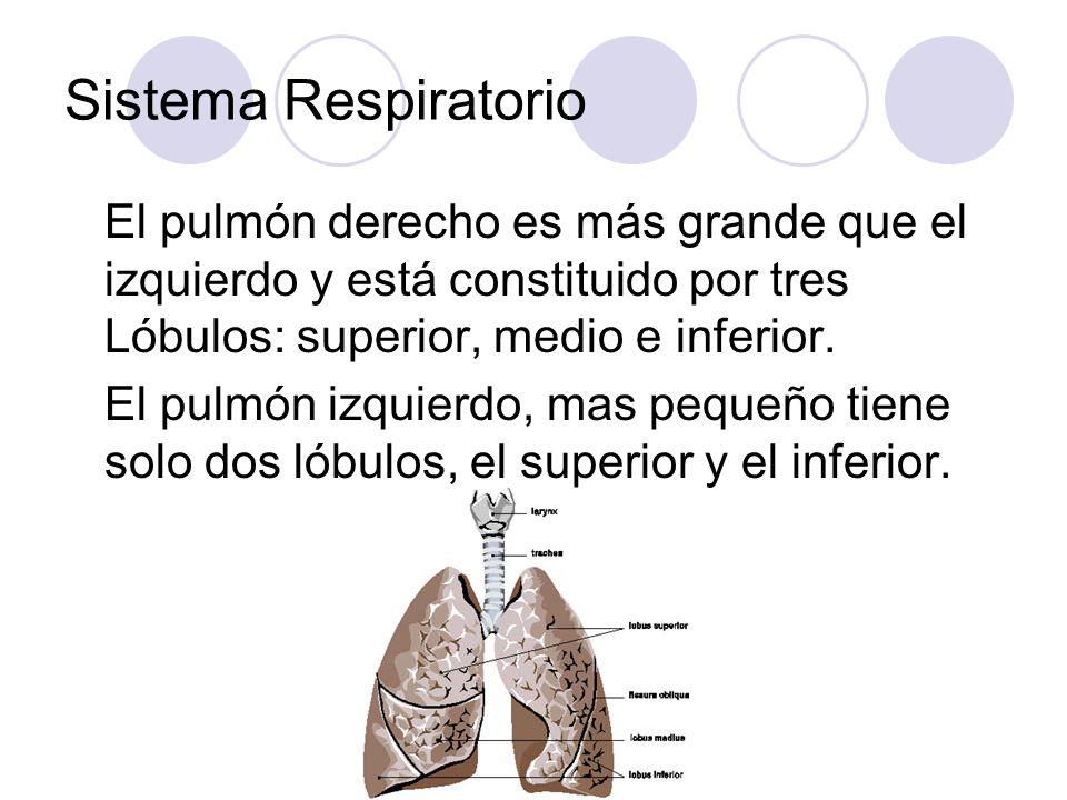 Sistema Respiratorio El pulmón derecho es más grande que el izquierdo y está constituido por tres Lóbulos: superior, medio e inferior.