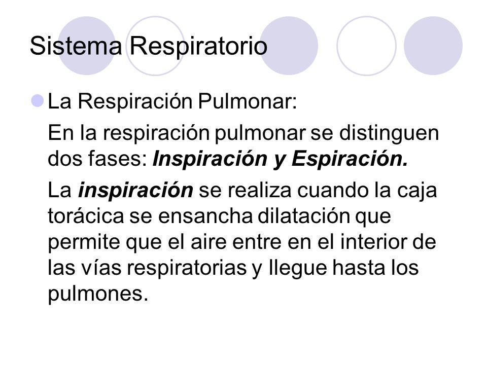 Sistema Respiratorio La Respiración Pulmonar: