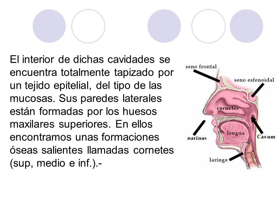El interior de dichas cavidades se encuentra totalmente tapizado por un tejido epitelial, del tipo de las mucosas.