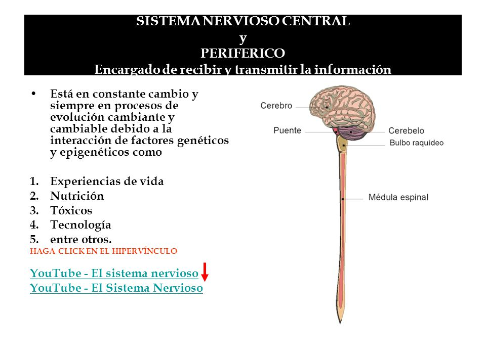SISTEMA NERVIOSO CENTRAL y PERIFERICO Encargado de recibir y transmitir la información