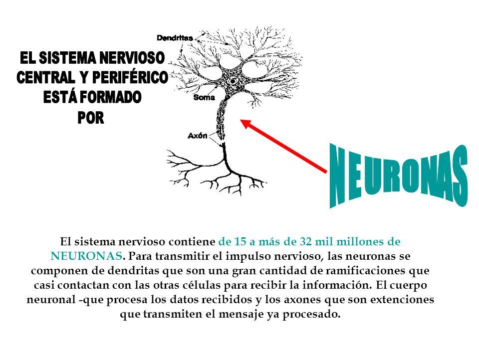 EL SISTEMA NERVIOSO CENTRAL Y PERIFÉRICO. ESTÁ FORMADO. POR. NEURONAS.