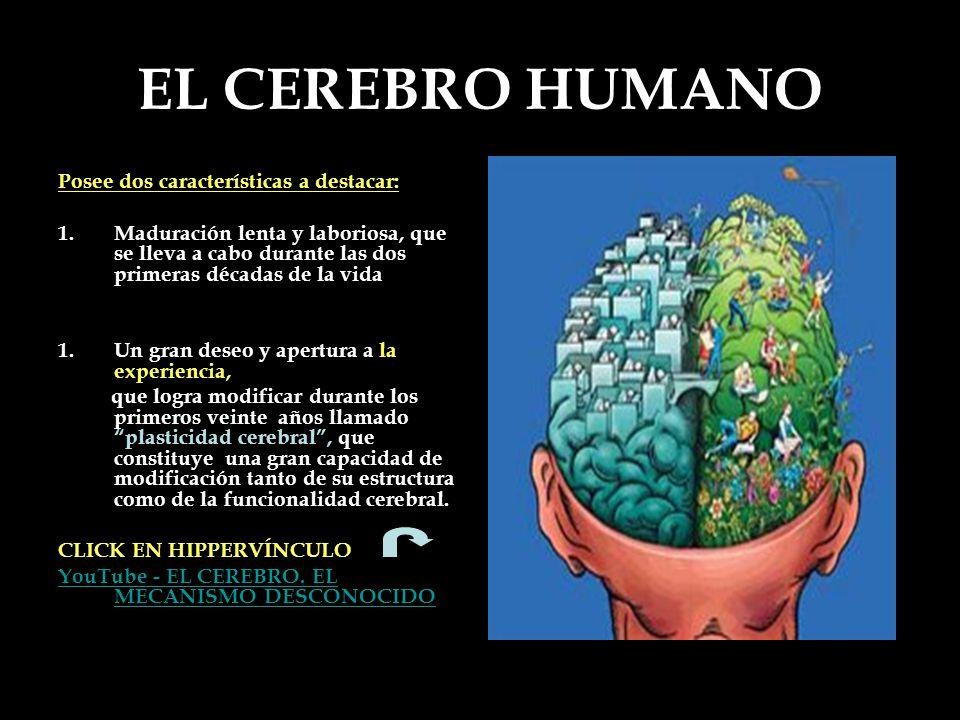 EL CEREBRO HUMANO Posee dos características a destacar: