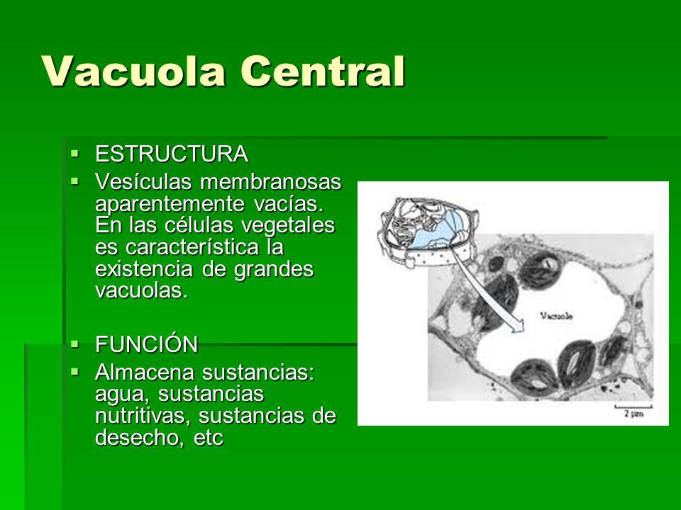 Vacuola Central ESTRUCTURA