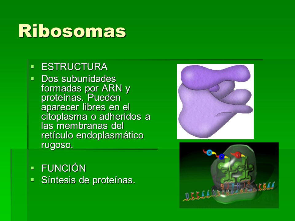 Ribosomas ESTRUCTURA.