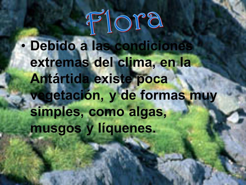 Flora Debido a las condiciones extremas del clima, en la Antártida existe poca vegetación, y de formas muy simples, como algas, musgos y líquenes.
