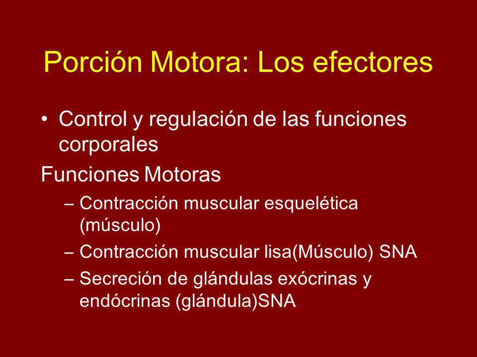 Porción Motora: Los efectores