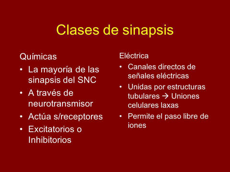 Clases de sinapsis Químicas La mayoría de las sinapsis del SNC
