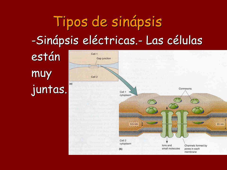 Tipos de sinápsis -Sinápsis eléctricas.- Las células están muy juntas.