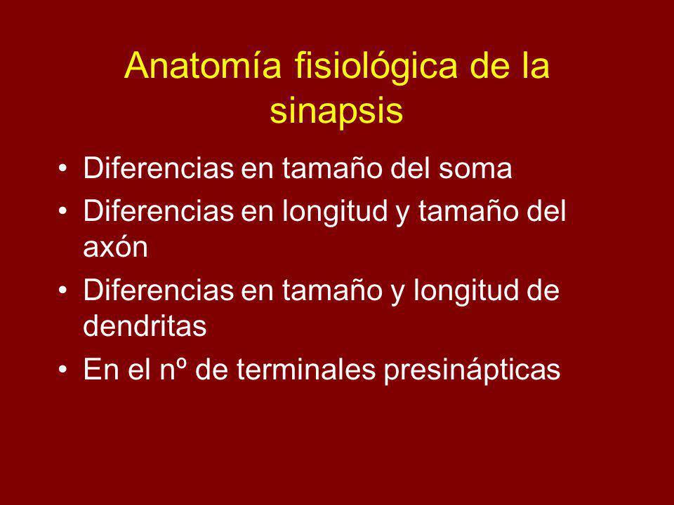 Anatomía fisiológica de la sinapsis