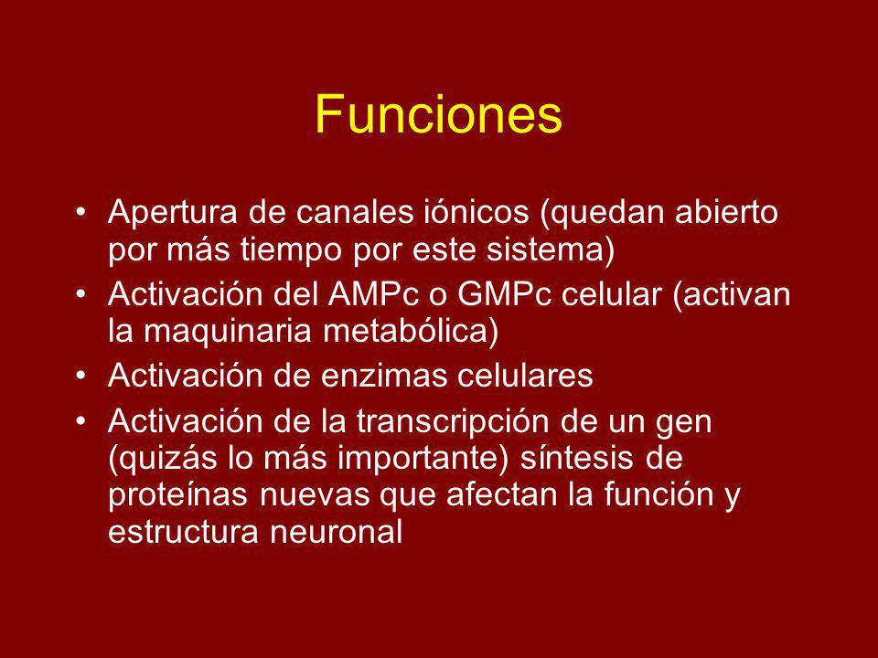 Funciones Apertura de canales iónicos (quedan abierto por más tiempo por este sistema)