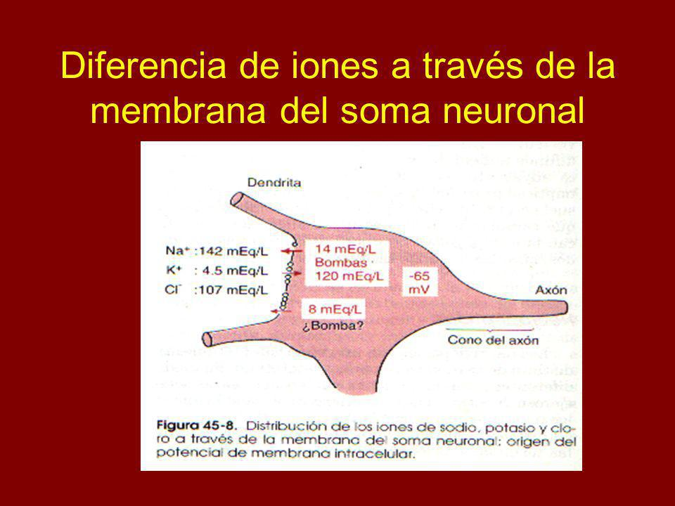 Diferencia de iones a través de la membrana del soma neuronal