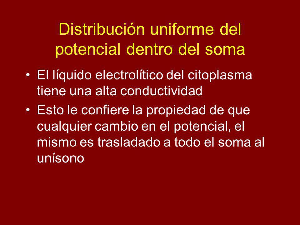 Distribución uniforme del potencial dentro del soma