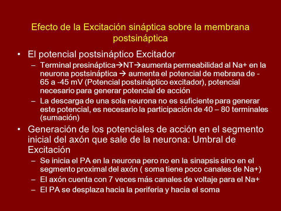 Efecto de la Excitación sináptica sobre la membrana postsináptica
