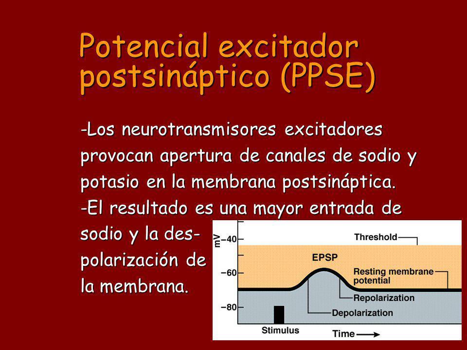Potencial excitador postsináptico (PPSE)