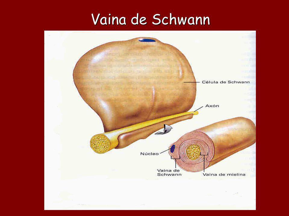 Vaina de Schwann La vaina de Schwann rodea a los axones del sistema nervioso periférico
