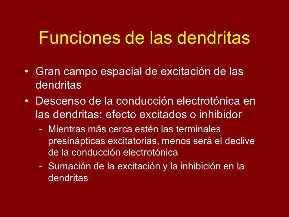 Funciones de las dendritas