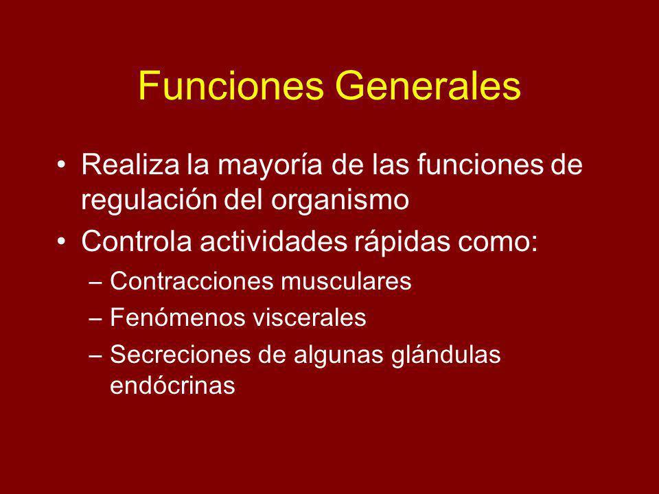 Funciones Generales Realiza la mayoría de las funciones de regulación del organismo. Controla actividades rápidas como: