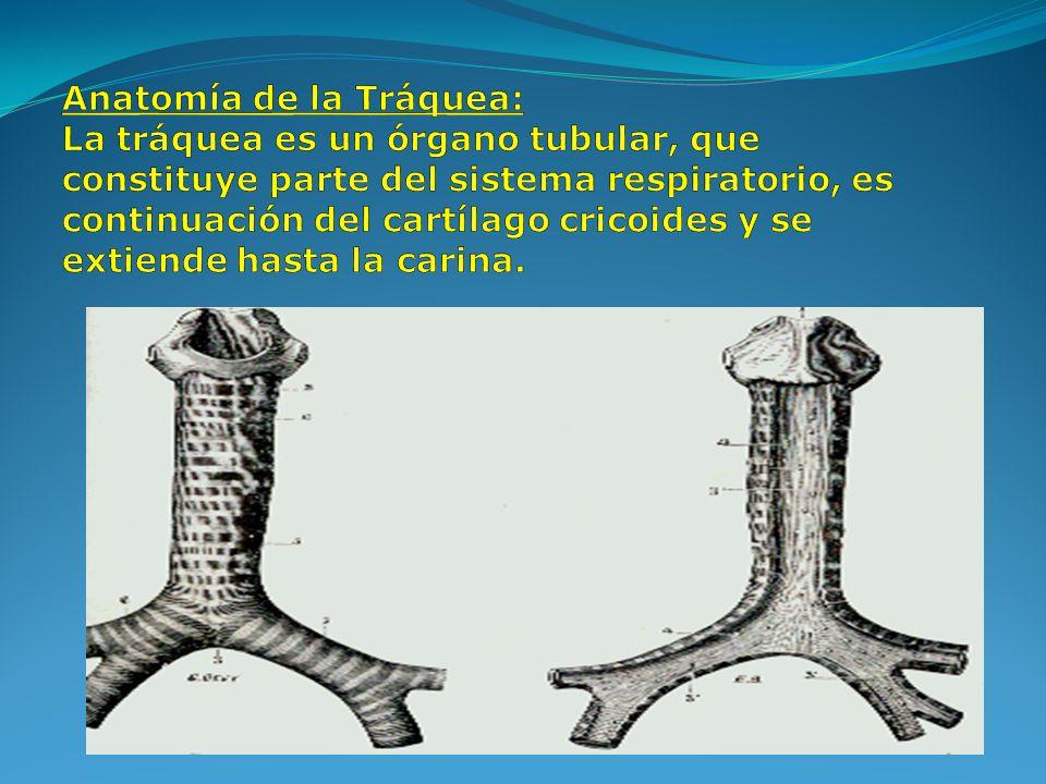 Anatomía de la Tráquea: La tráquea es un órgano tubular, que constituye parte del sistema respiratorio, es continuación del cartílago cricoides y se extiende hasta la carina.