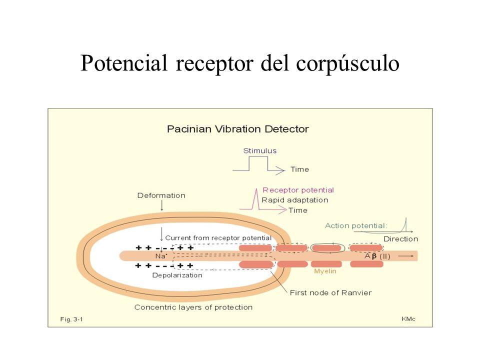 Potencial receptor del corpúsculo