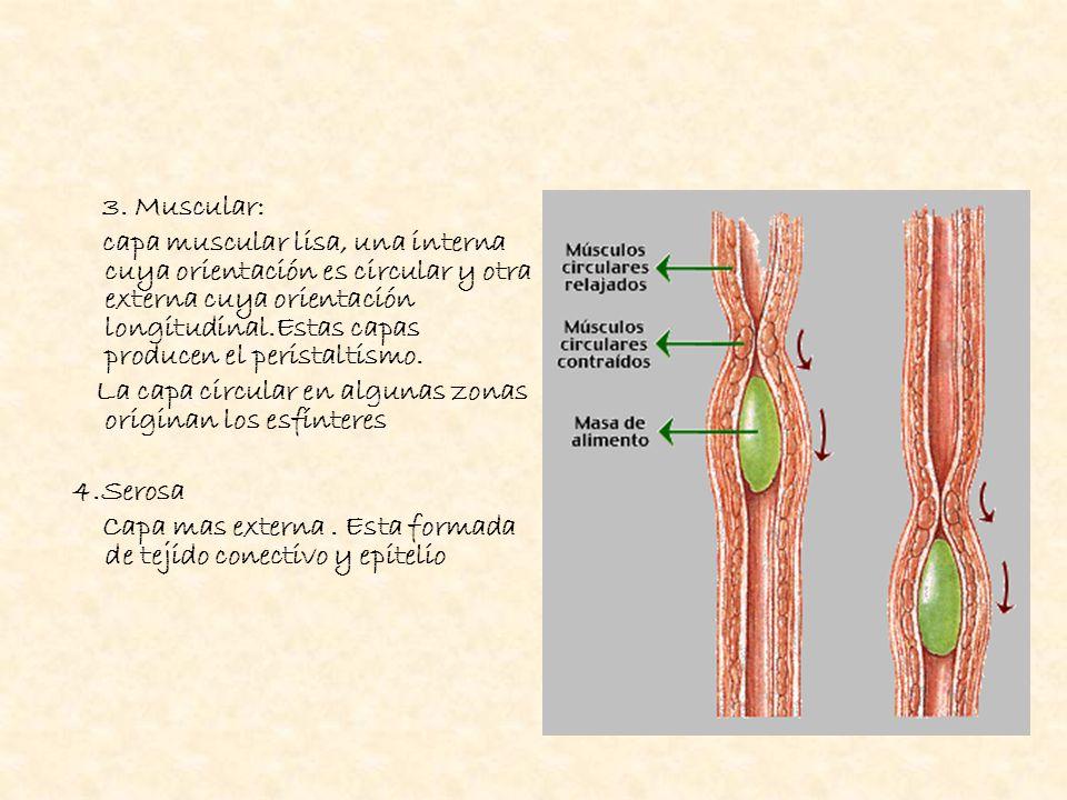 3. Muscular: