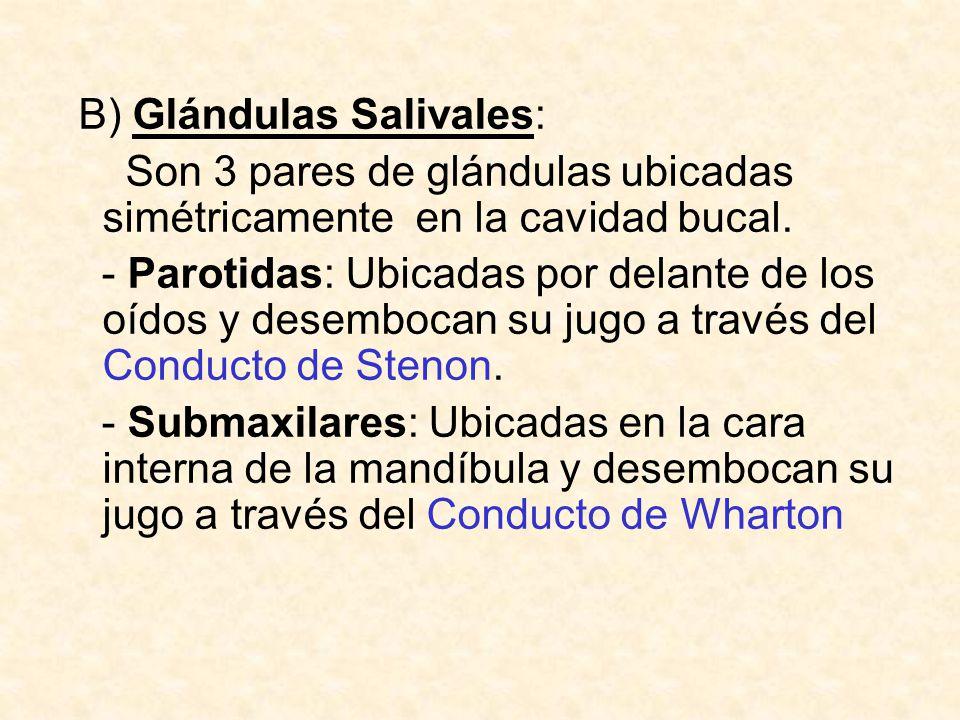 B) Glándulas Salivales: